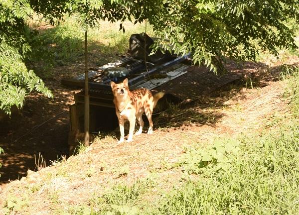 20140917科長神社の犬DSC_0318up.JPG